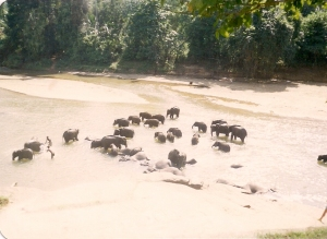 Pinnewala Elephant Orphanage in 1988